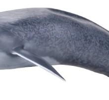 【メガソフビアドバンス】 MSA-04 シロナガスクジラ001_15_24