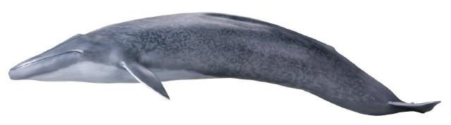 【メガソフビアドバンス】 MSA-04 シロナガスクジラ002_15_17