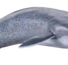 【メガソフビアドバンス】 MSA-04 シロナガスクジラ003_13_17