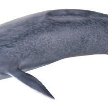 【メガソフビアドバンス】 MSA-04 シロナガスクジラ006_9_16