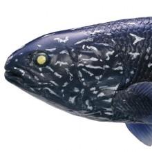 #1-002 シーラカンス(幼魚)atp002-1